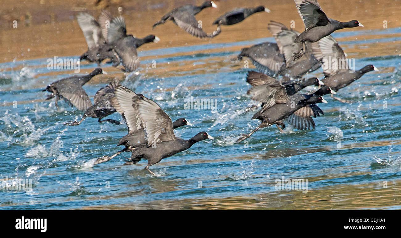 Imagen panorámica de la bandada de gallaretas, Eurasia Fulicra atra, despegando de azules aguas del lago en Imagen De Stock