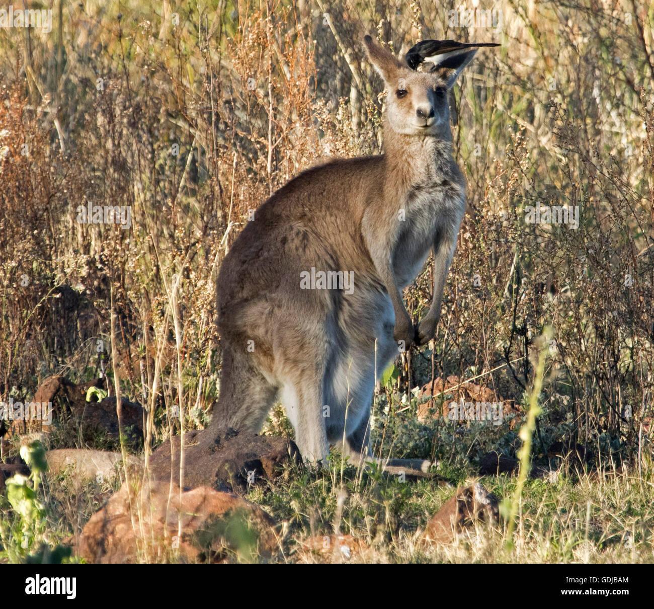 Compañeros inusuales, canguro gris oriental Macropus giganteus) en el medio silvestre con willy wagtail en Imagen De Stock