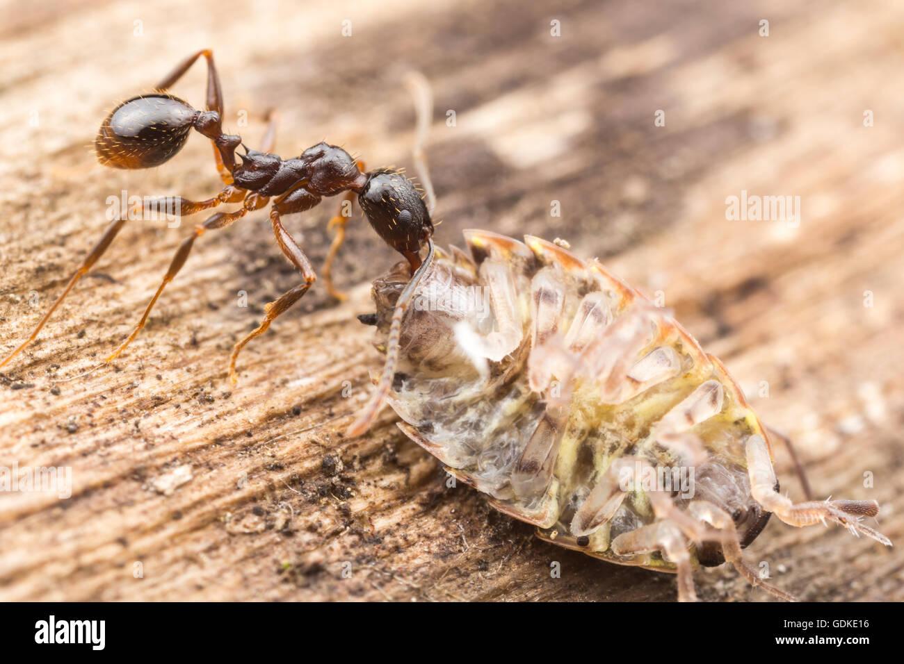 Un Spine-con cintura hormiga Aphaenogaster (picea) lleva su vetusta, una comida común Woodlouse seccionado, Imagen De Stock