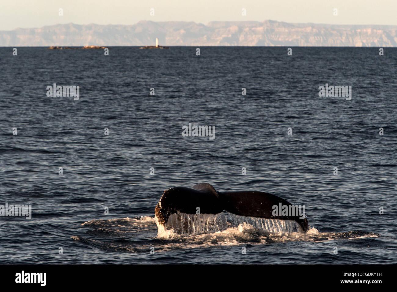 Ballena Jorobada fluke Mar de Cortez, en Baja California, México Foto de stock