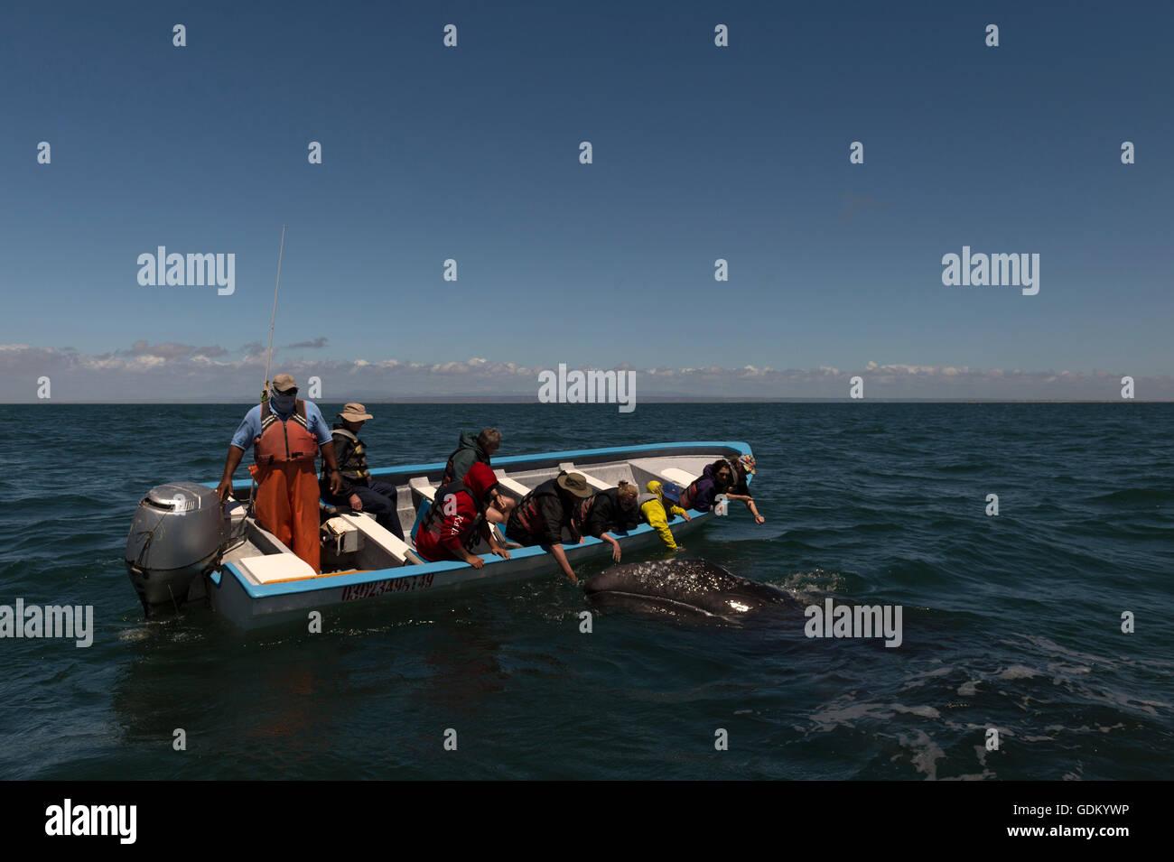 La pantorrilla de la ballena gris (Eschrichtius robustus) Laguna San Ignacio, Baja California, México Foto de stock