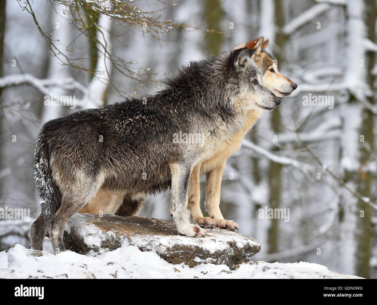 Macho y hembra alfa alfa lobo, lobo, lobo oriental, Oriental Timber Wolf (Canis lupus lycaon) en invierno, mira, Imagen De Stock