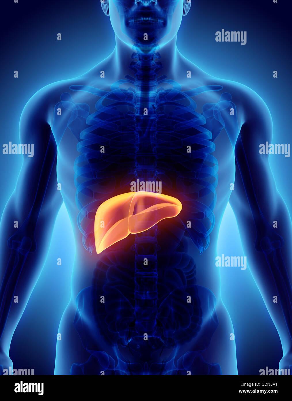 Ilustración 3D de color naranja brillante de Hígado - Parte del ...