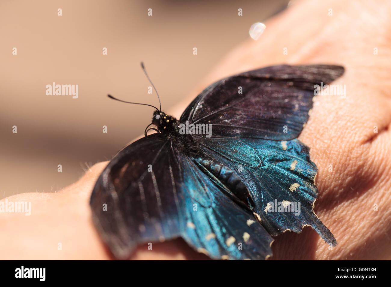 Especie Spicebush mariposa Papilio Troilo, se encuentra en América del Norte Foto de stock