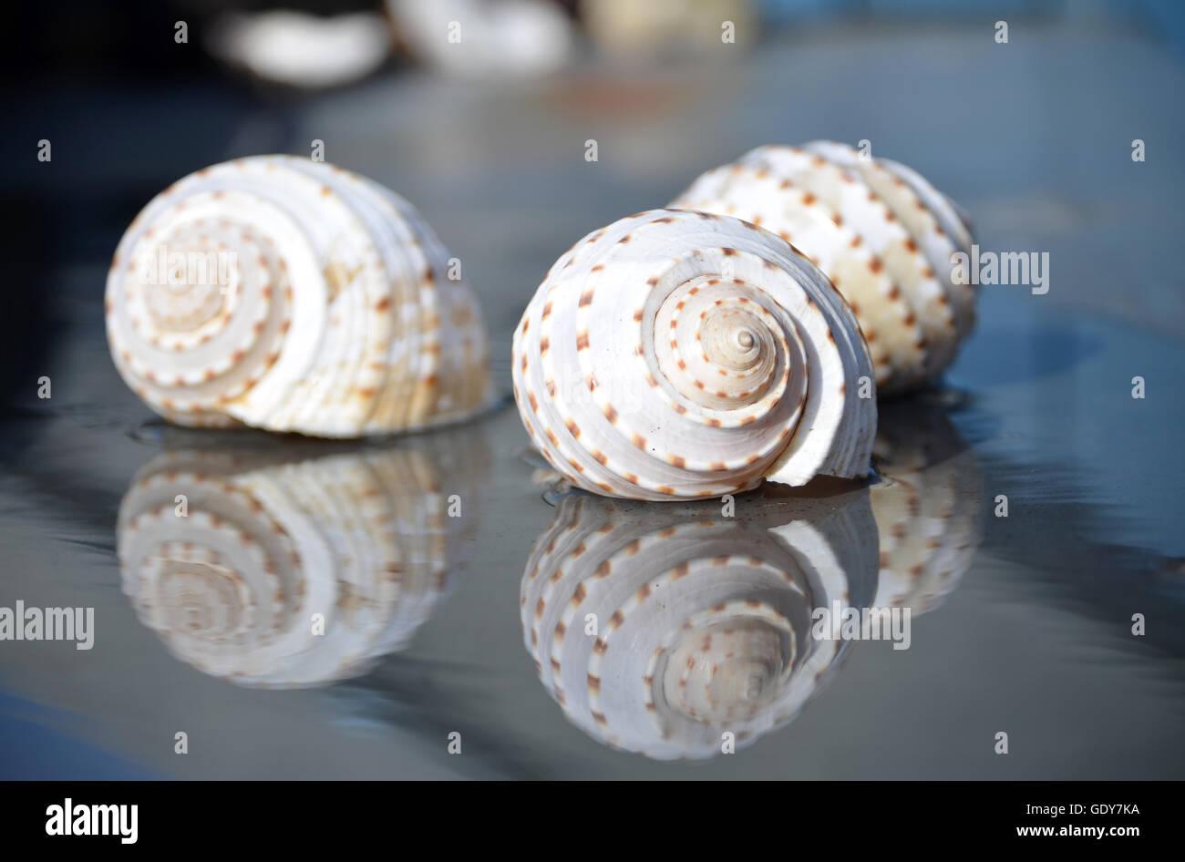 Con reflexión tonnidae Imagen De Stock