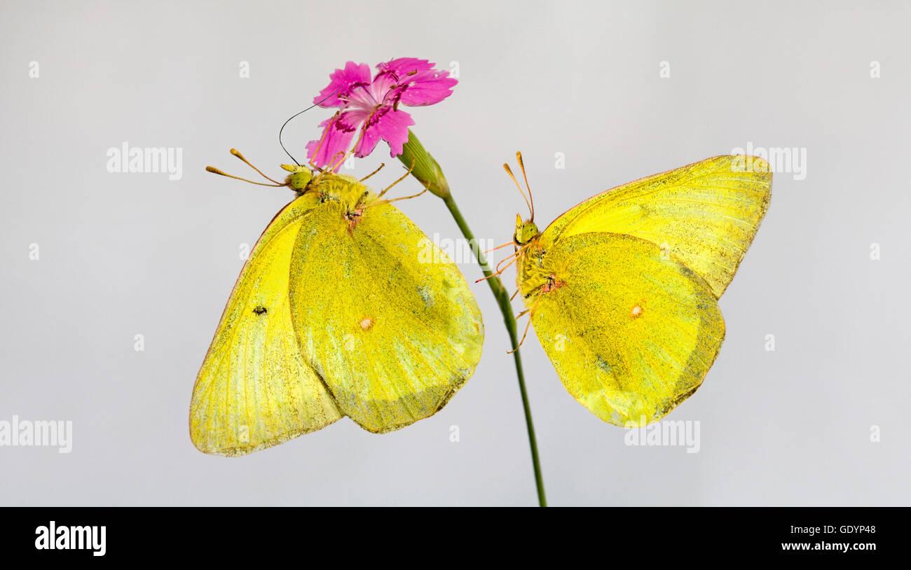 Un par de mariposas de azufre nublado, Colias philodice, tomando el néctar de una flor Foto de stock