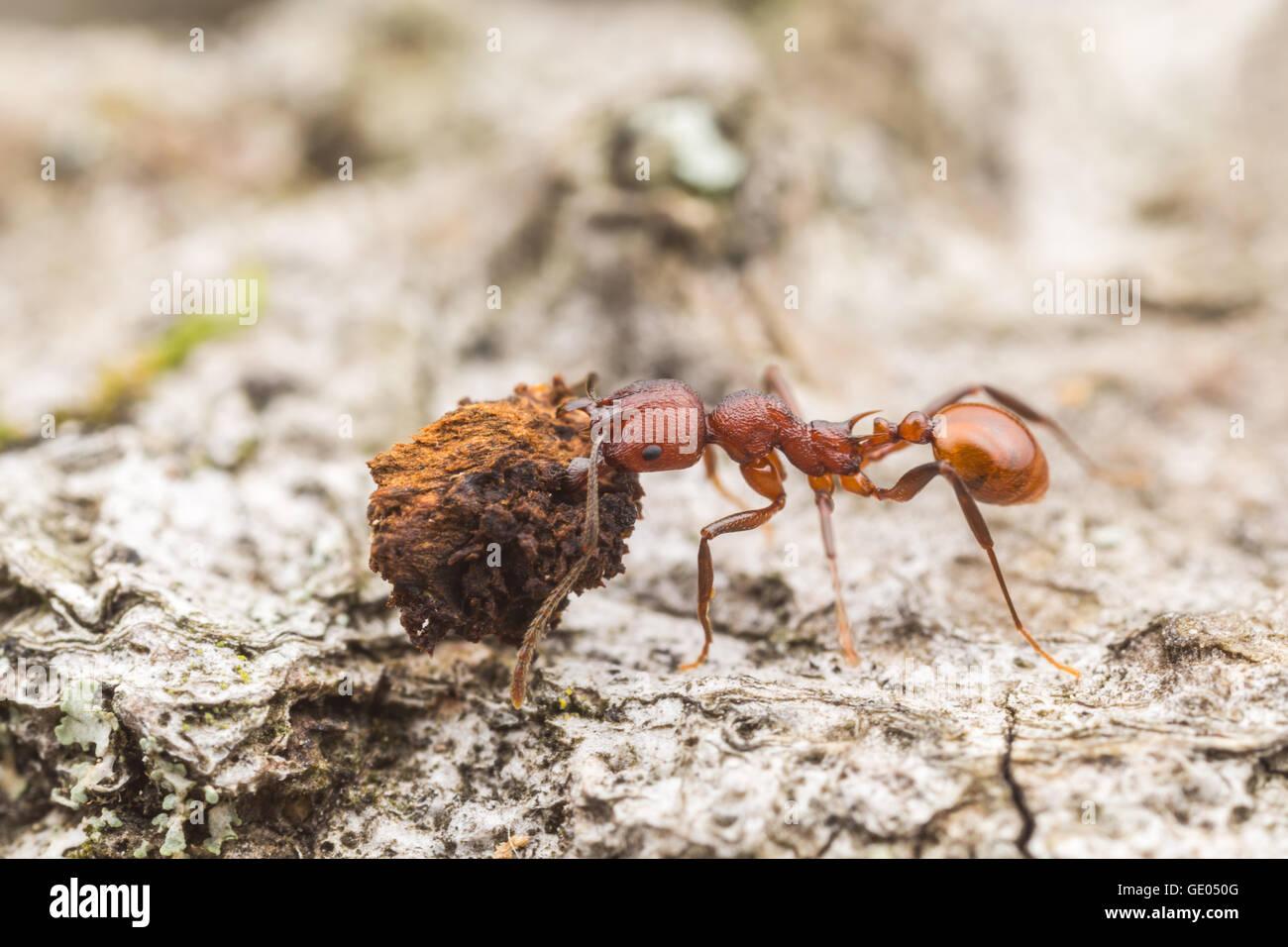 Un Spine-con cintura (hormiga Aphaenogaster tennesseensis) trabajador vetusta lleva comida a su nido. Imagen De Stock