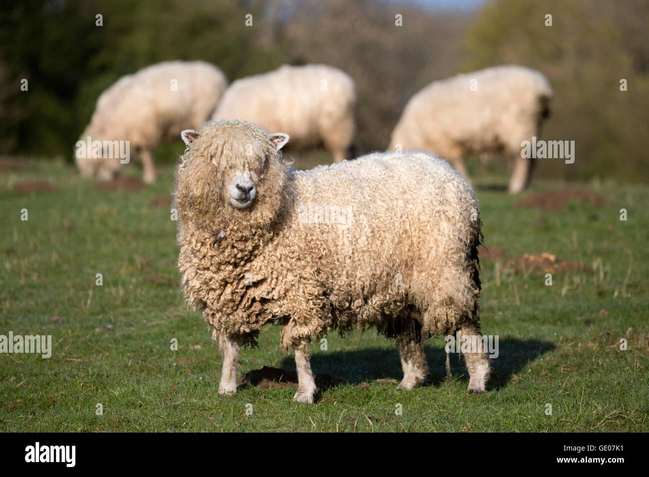 Cotswold Lion raza de ovejas, Cotswolds, Gloucestershire, Inglaterra, Reino Unido, Europa Imagen De Stock