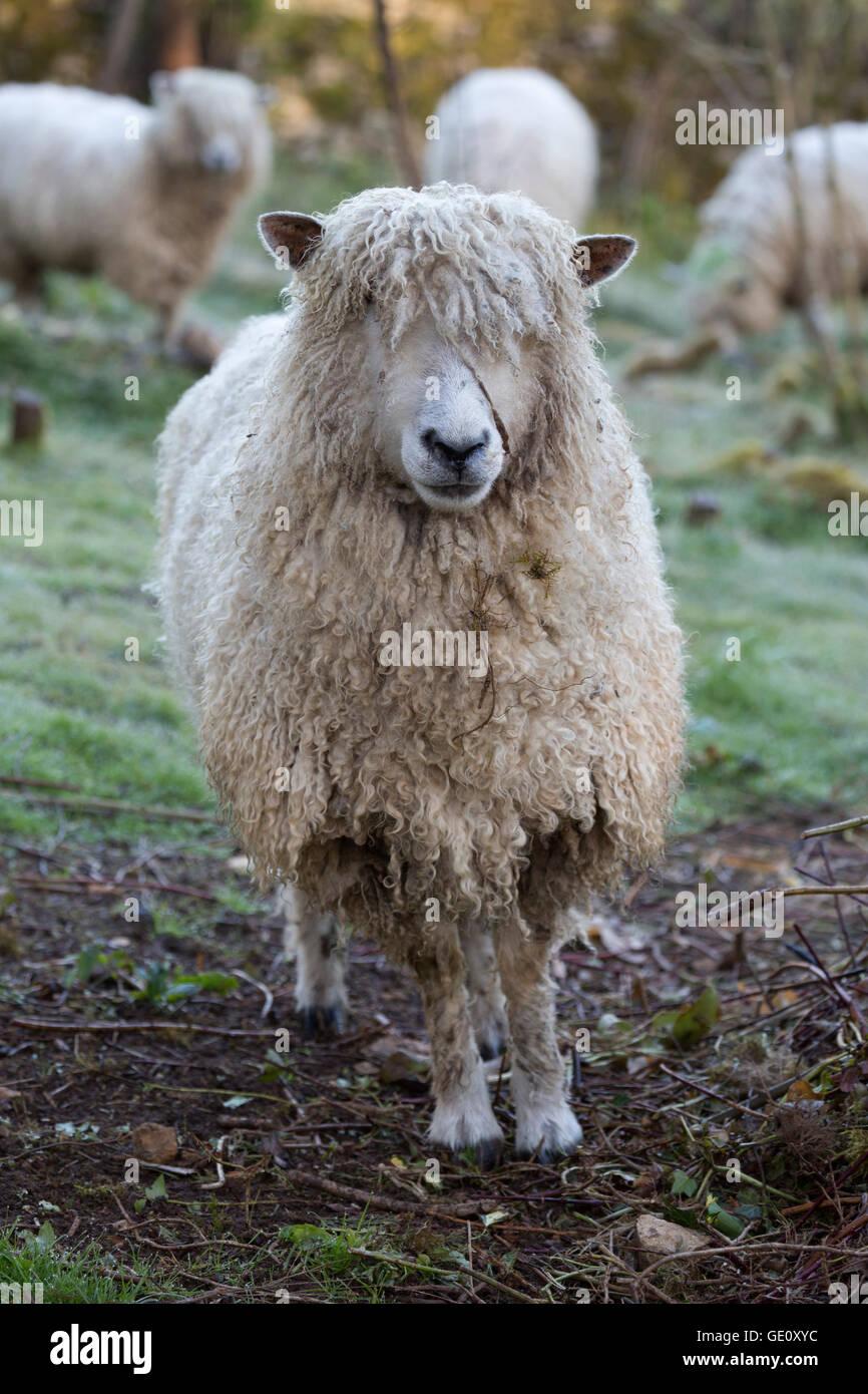 Cotswold Lion raza de ovejas, Cotswolds, Gloucestershire, Inglaterra, Reino Unido, Europa Foto de stock