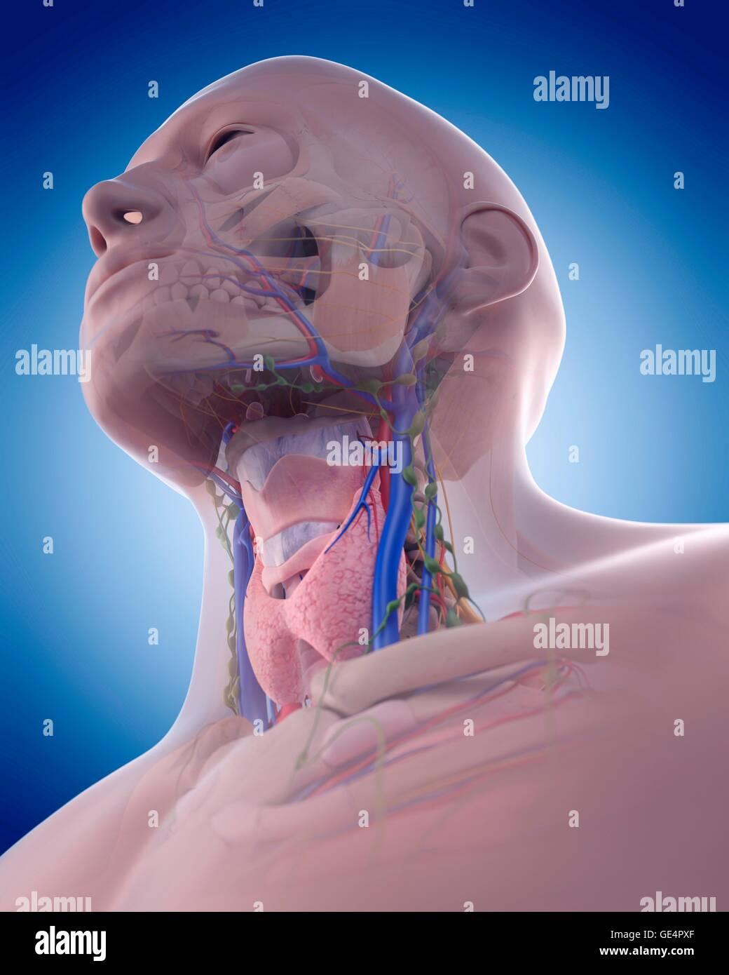 Anatomía de la boca humana, la ilustración Foto & Imagen De Stock ...