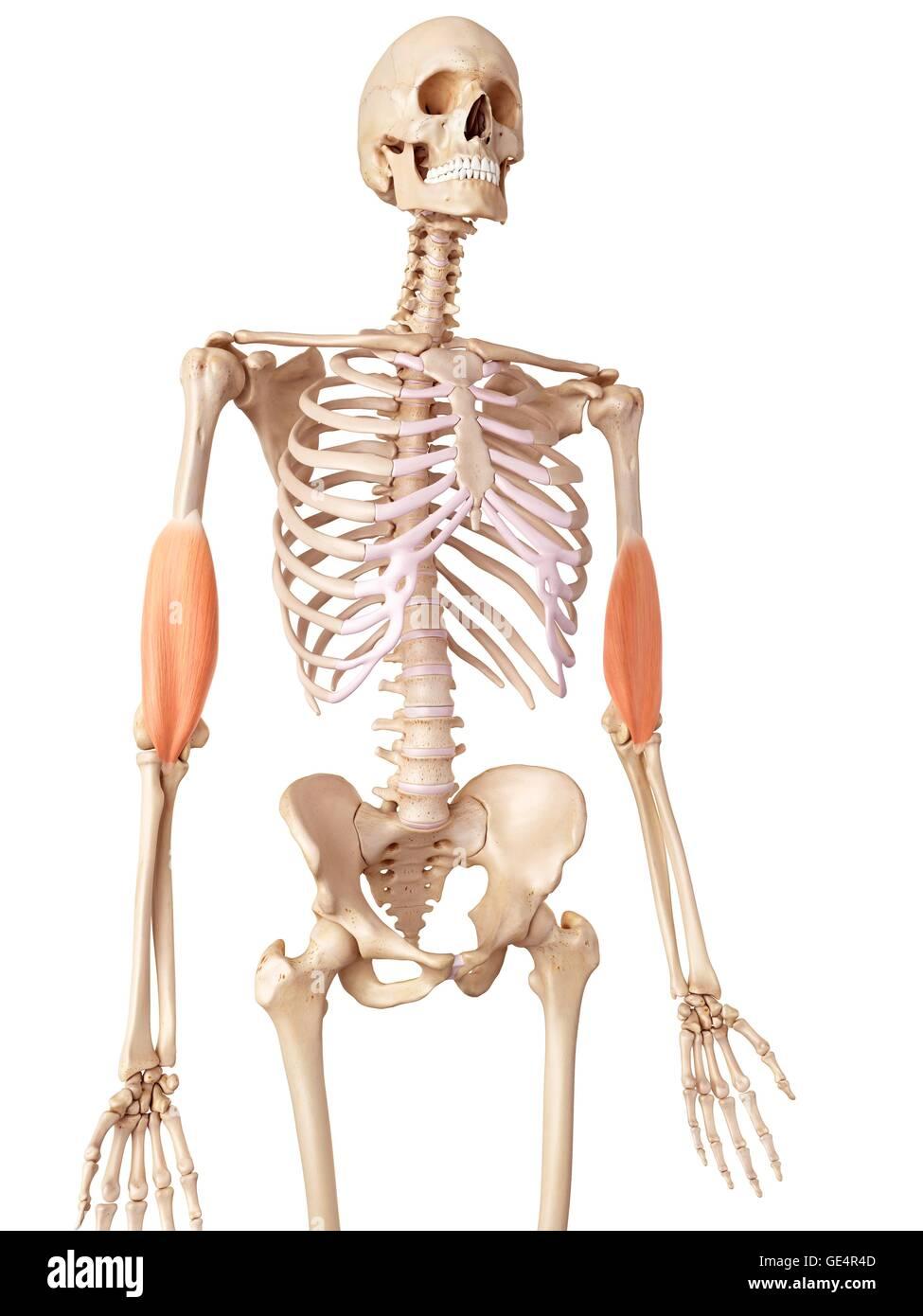 Los músculos de los brazos humanos, ilustración Foto & Imagen De ...