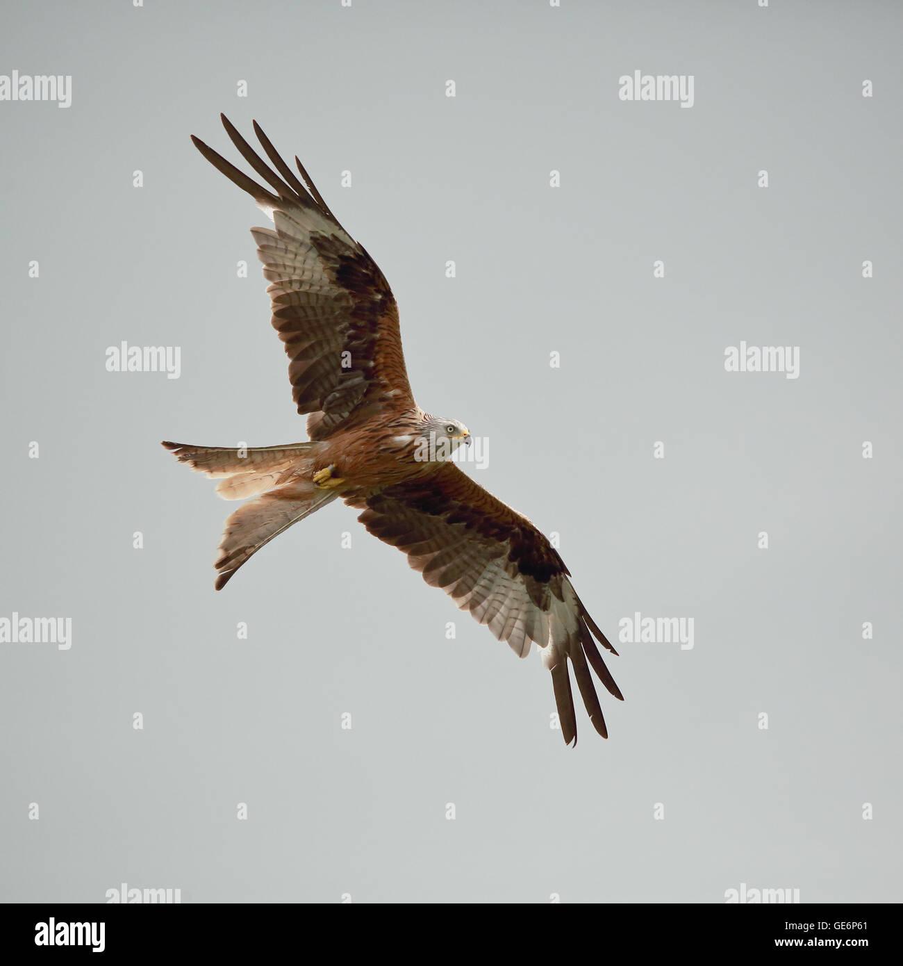 Red Kite en vuelo contra un cielo gris Foto de stock