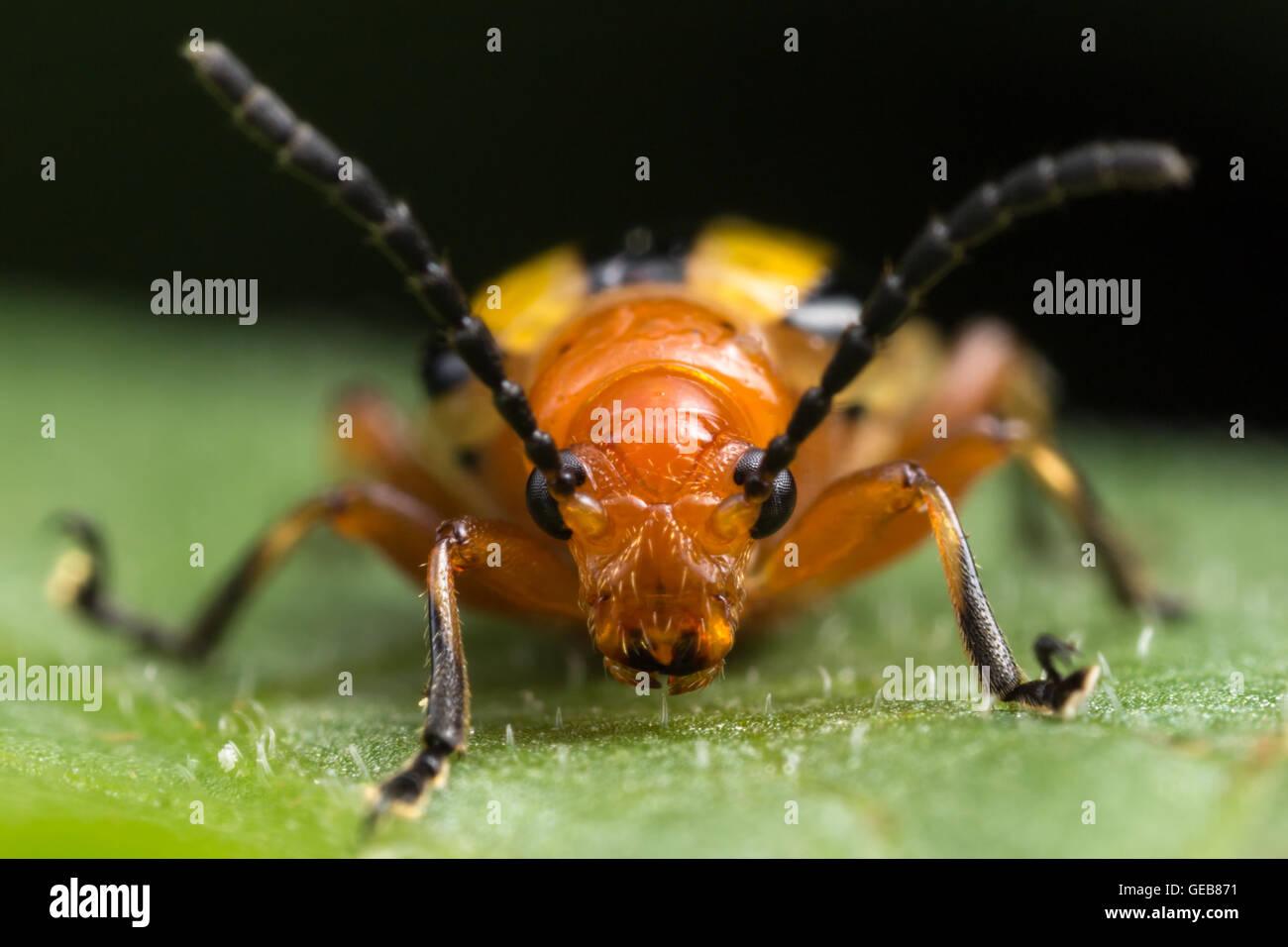 Una vista frontal de un tres-rayado el escarabajo de la patata (Lema daturaphila) en una hoja. Imagen De Stock