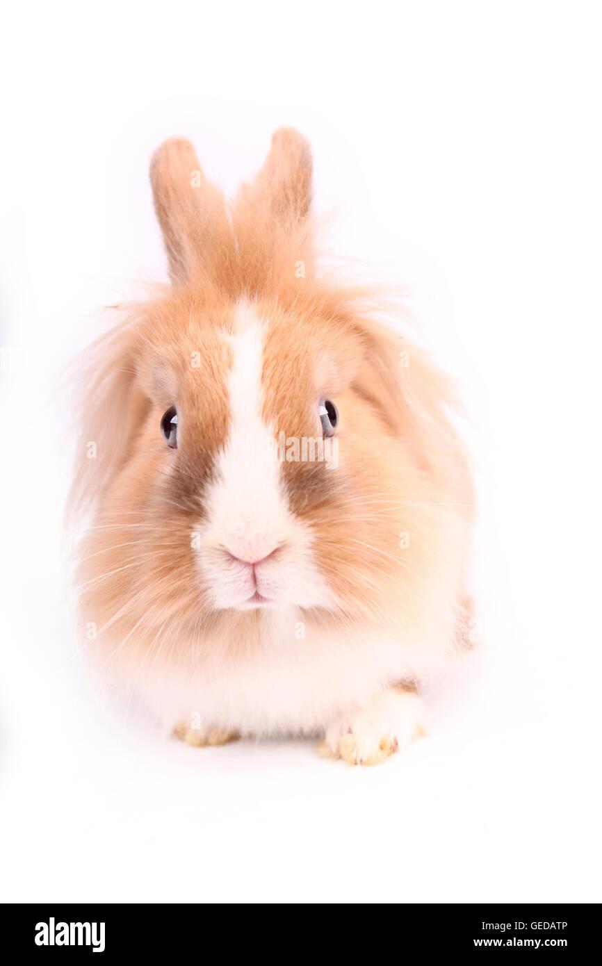 Conejo enano con cabeza de león visto de frente. Studio picture contra un fondo blanco. Alemania Foto de stock
