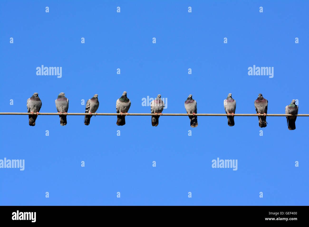 Pigeon vecinos mantener distancia personal Imagen De Stock