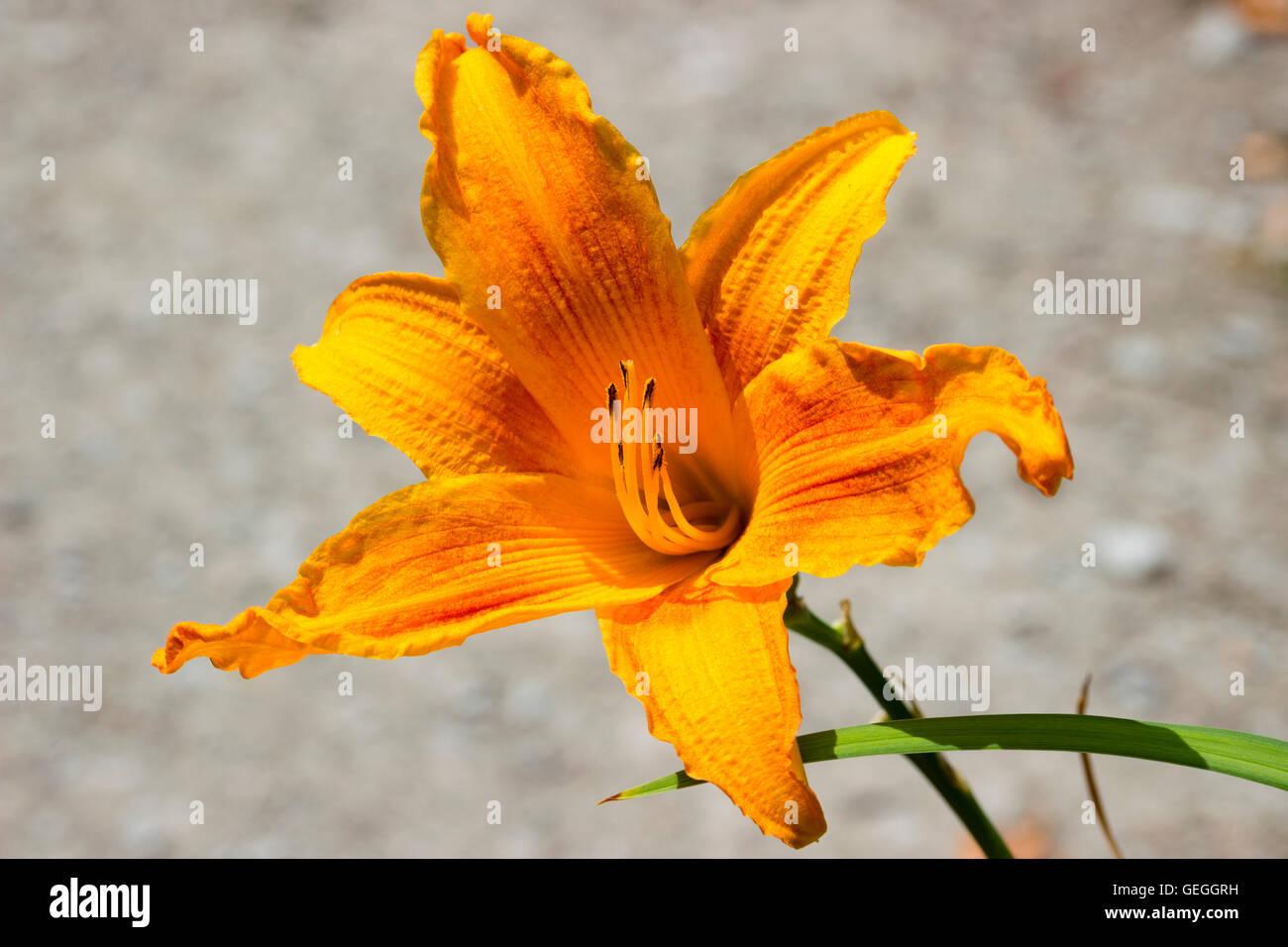 Vivid naranja amarillo flor de trompeta de el lirio de día, Hemerocallis 'quemar' de luz diurna Imagen De Stock