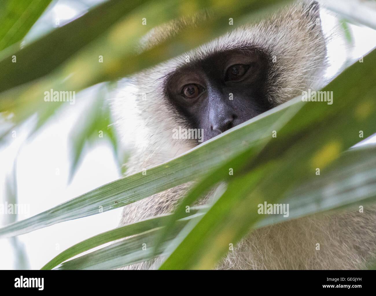 Vervet monkey sentado en un árbol y llegando a través de las hojas, Ukunda, Kenya, Africa. Imagen De Stock