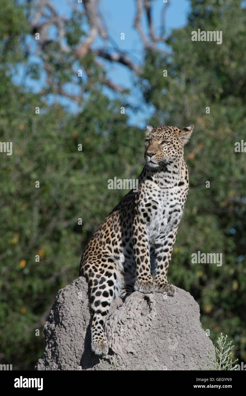 Hembra de leopardo en termitero Foto de stock