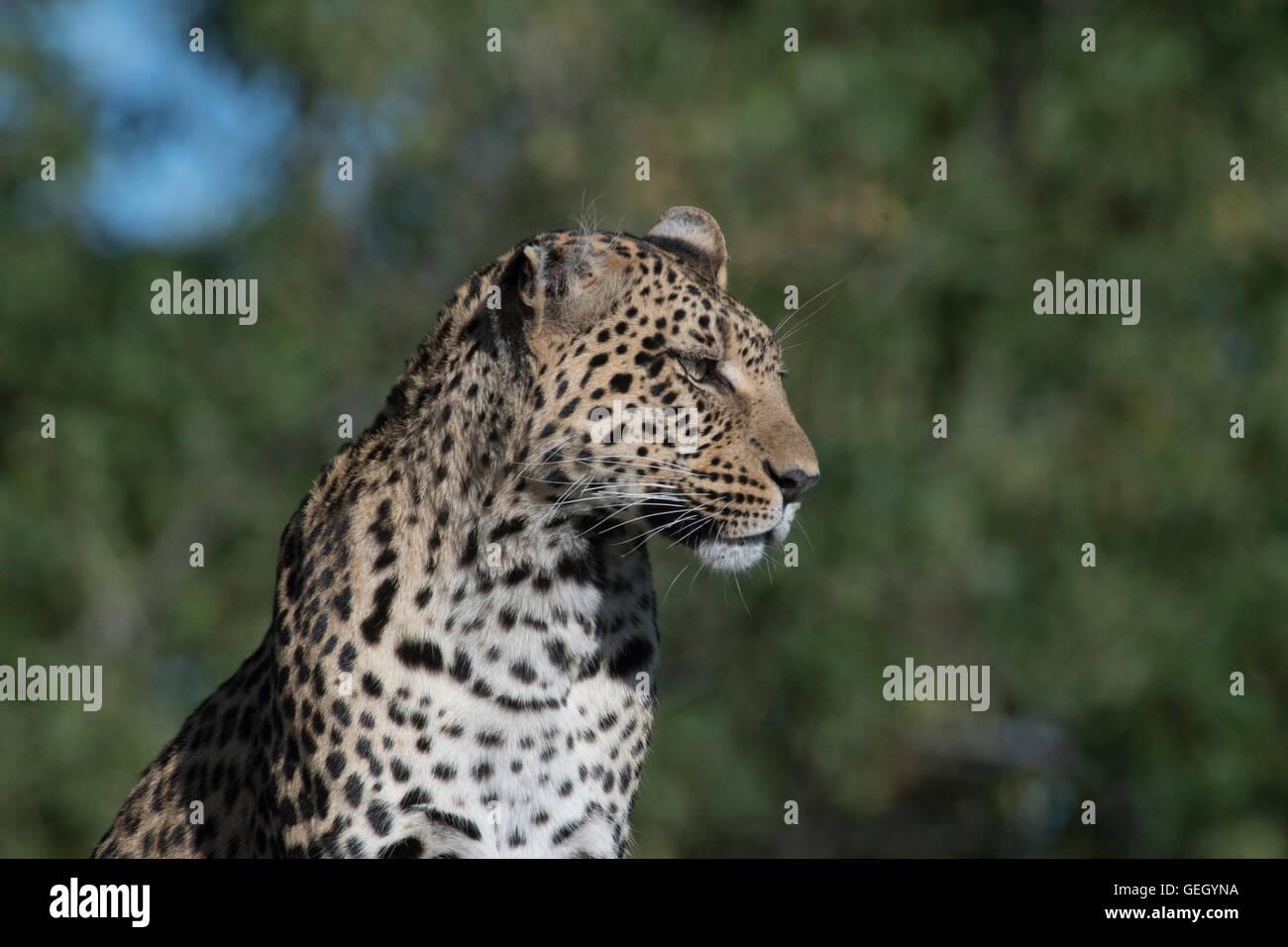 Leopardo hembra, Pula, Legadimas hija, sentada en termitero Foto de stock