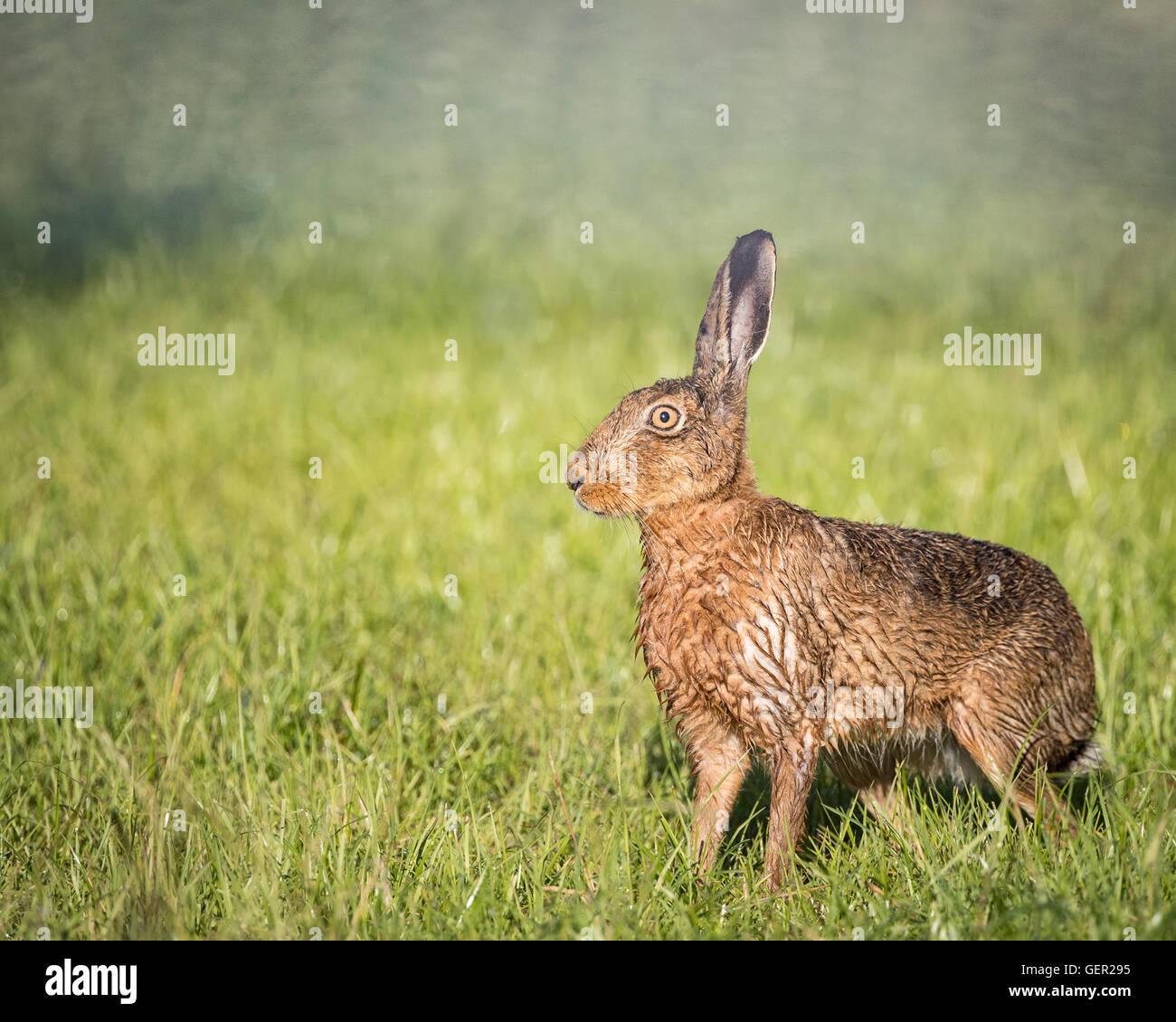 Brown Liebre en campo,alerta, húmedo de bañarse en el charco (Lepus europaeus) Imagen De Stock
