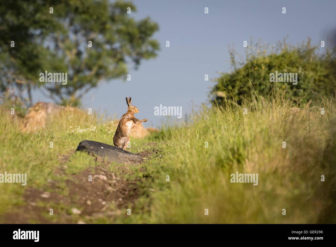 Brown Hare en una ruta, el boxeo de sombra, mojados de bañarse en el charco (Lepus europaeus) Imagen De Stock