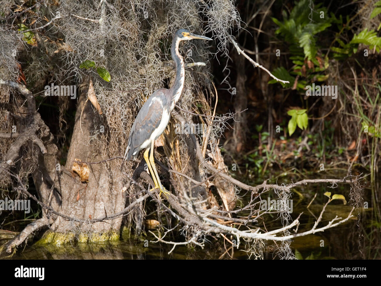 El tricolor Heron aka Louisiana Heron parece completar el círculo se hace con la rama se posó sobre ellos. Imagen De Stock