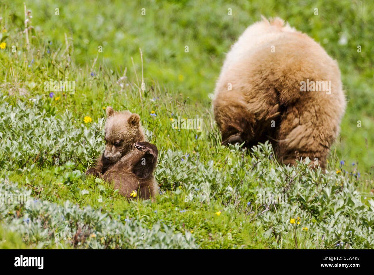 Sow (hembra) oso grizzly (Ursus arctos horribilis) con el Cubs, proximidad a la autopista, pase el Parque Nacional Imagen De Stock
