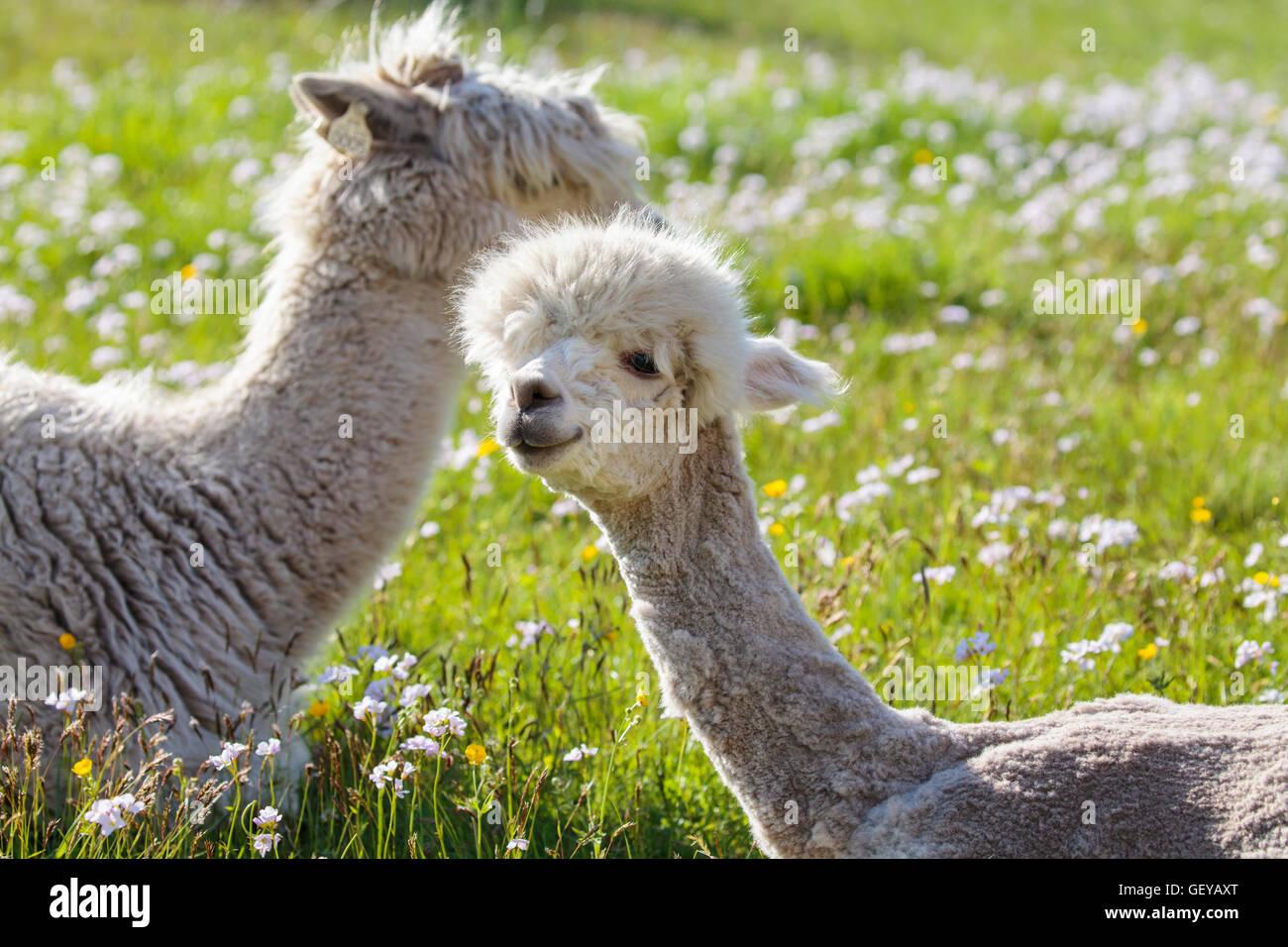 Alpacas Imagen De Stock