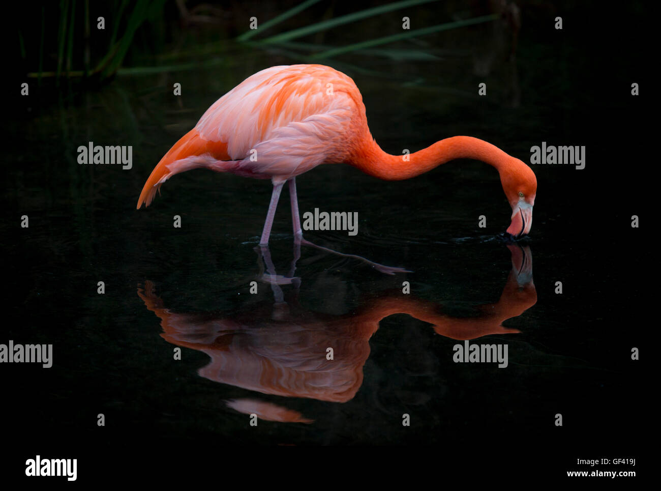 Escobar, Argentina. El 27 de julio, 2016. Un americano flamingo bebe agua en el Biopark, Temaiken en Escobar, a Imagen De Stock