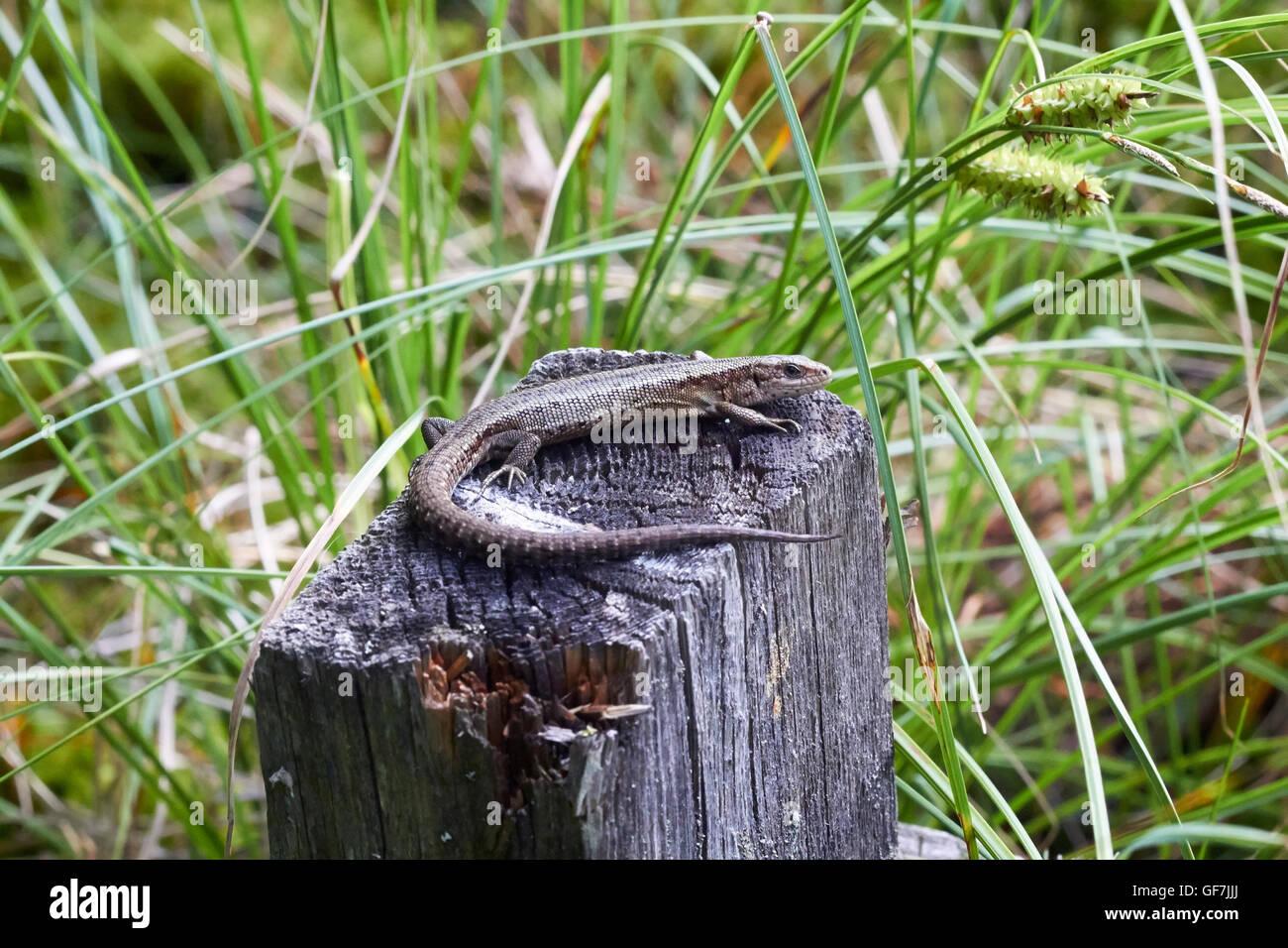 Zootoca vivipara, lagarto ovíparos Foto de stock