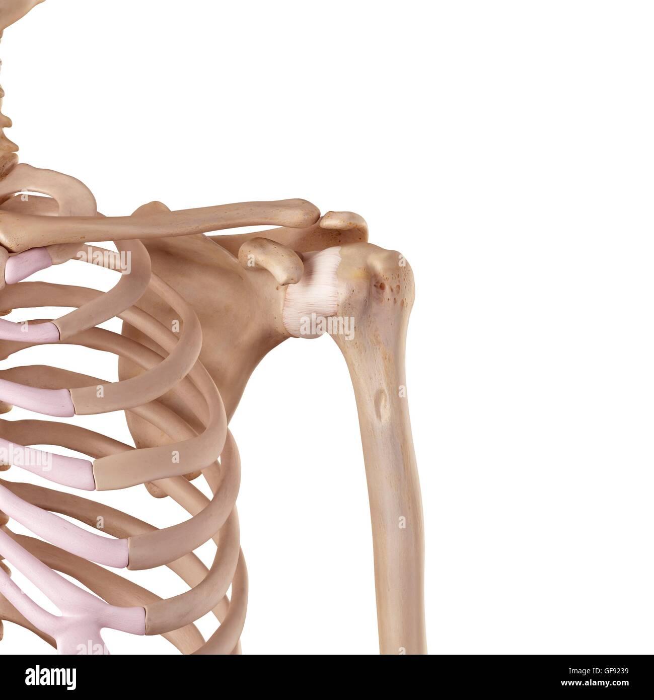 Los ligamentos del hombro humano, ilustración Foto & Imagen De Stock ...