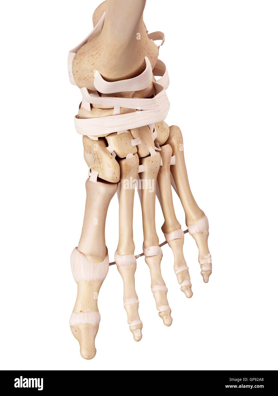 Los ligamentos del pie humano, ilustración Foto & Imagen De Stock ...