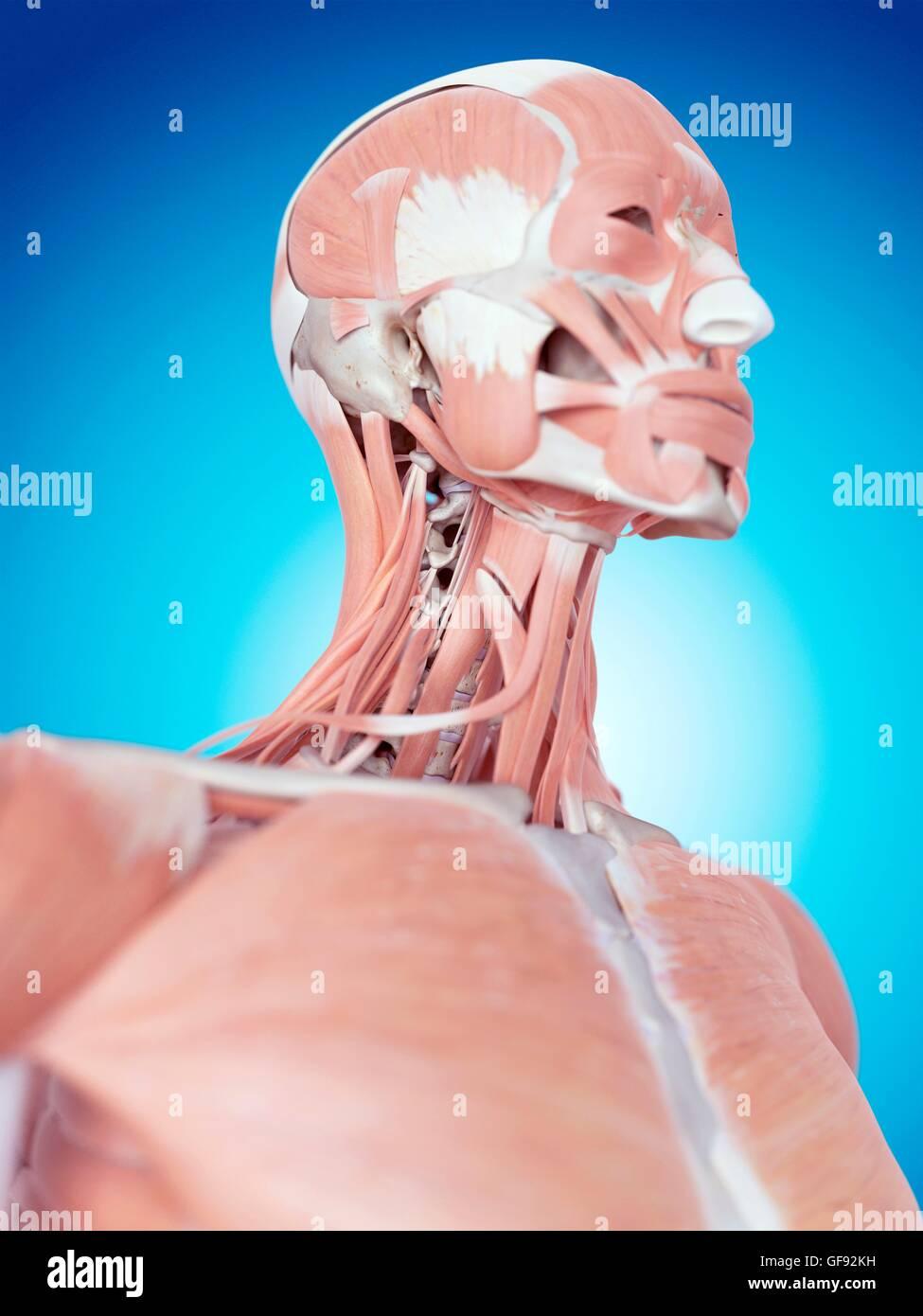 Rostro Humano y los músculos del cuello, la ilustración Foto ...