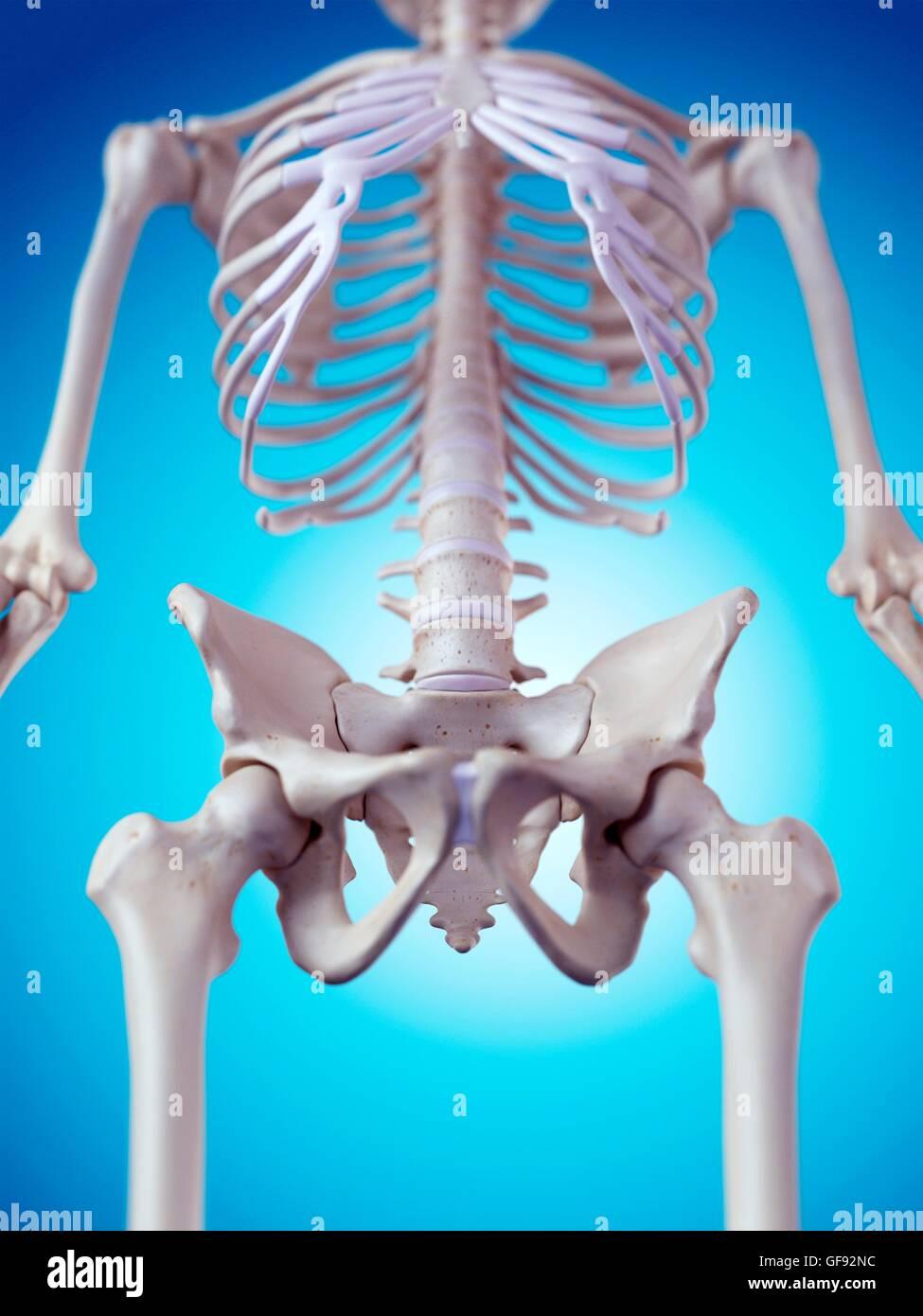 Derechos huesos pélvicos, ilustración Foto & Imagen De Stock ...