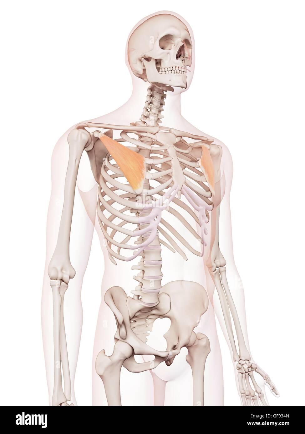 Los músculos del pecho humano, ilustración Foto & Imagen De Stock ...