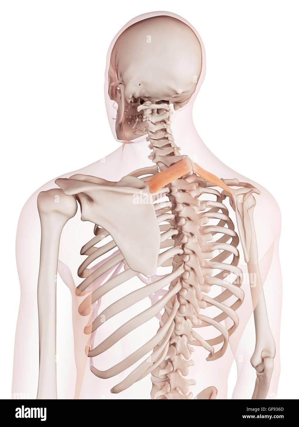 Excelente Diagrama De La Espalda Humana Galería - Imágenes de ...