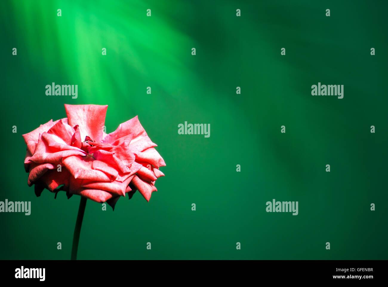 Cerca de una rosa rosa sobre fondo verde Foto de stock