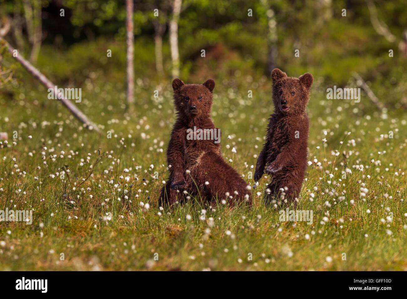 Tres crías de oso pardo en un campo de algodón, hierba, Finlandia. Imagen De Stock