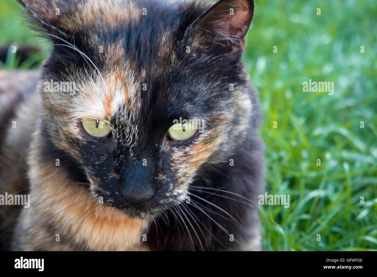 Buscando un feroz gato sobre el césped Imagen De Stock