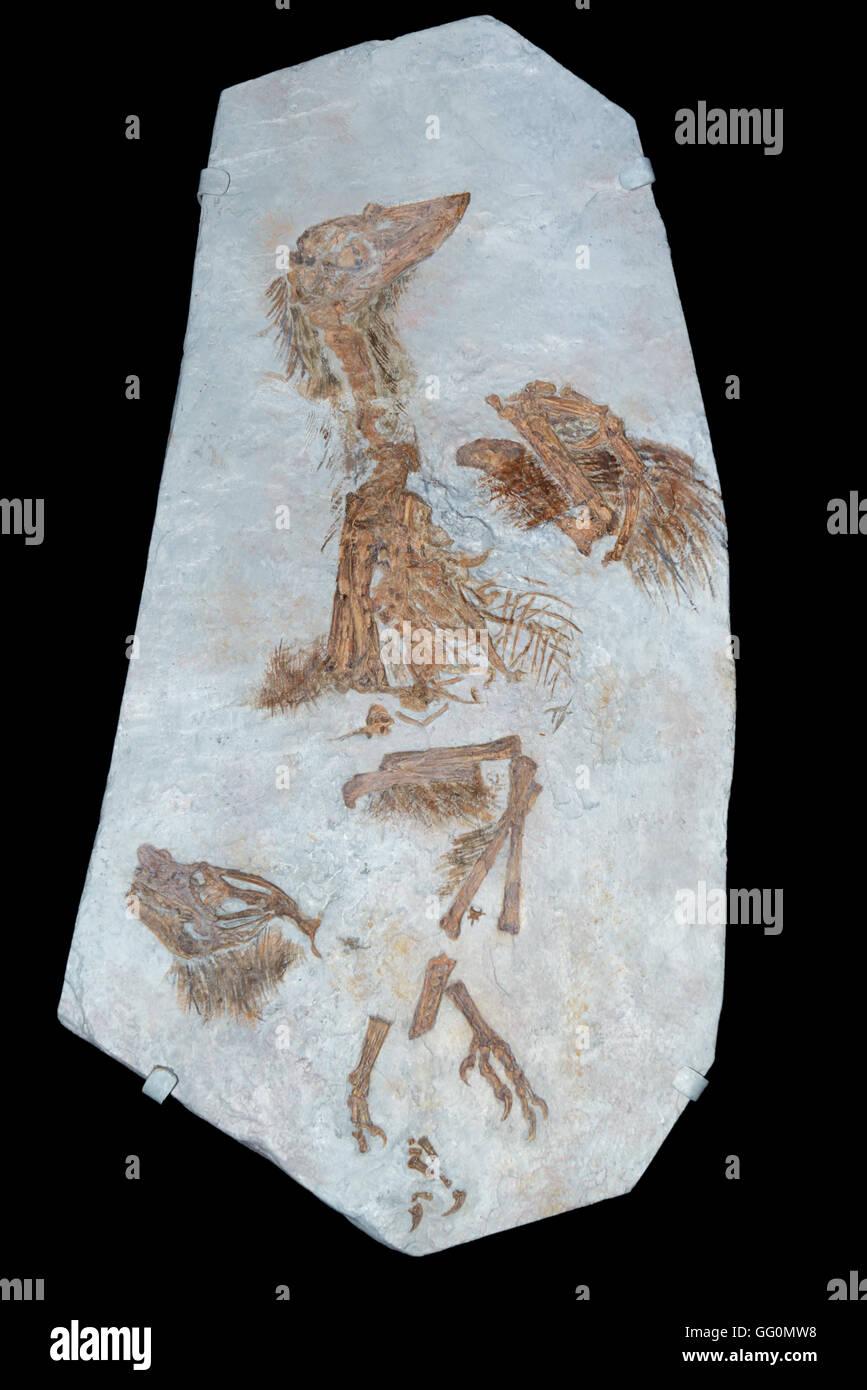 Una de las primeras especies de aves Confuciusornis sanctus. Cretáceo temprano, 130-120 millones de años atrás, Foto de stock