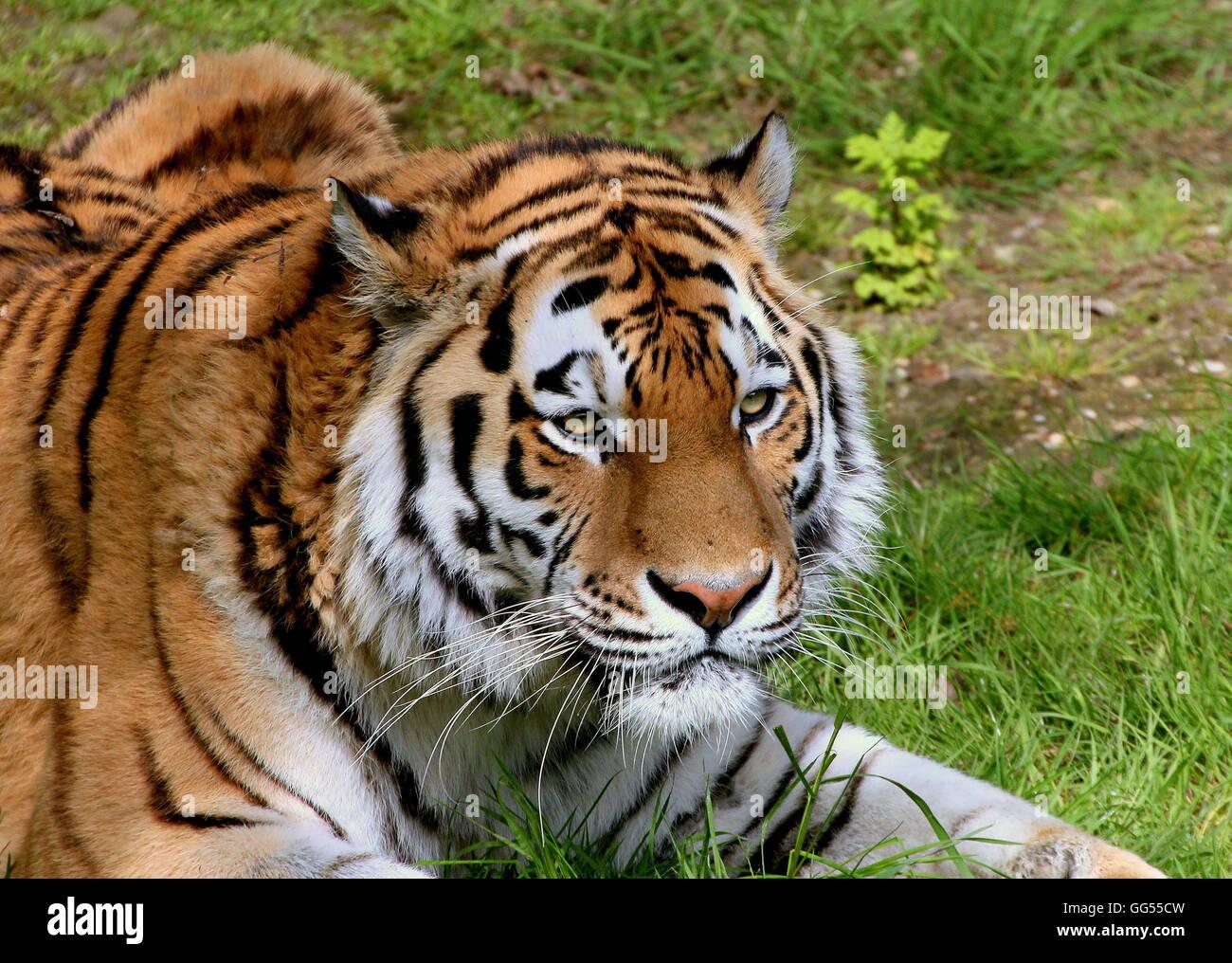 Feroz buscando macho Amur o siberiano tigre (Panthera tigris altaica) Imagen De Stock