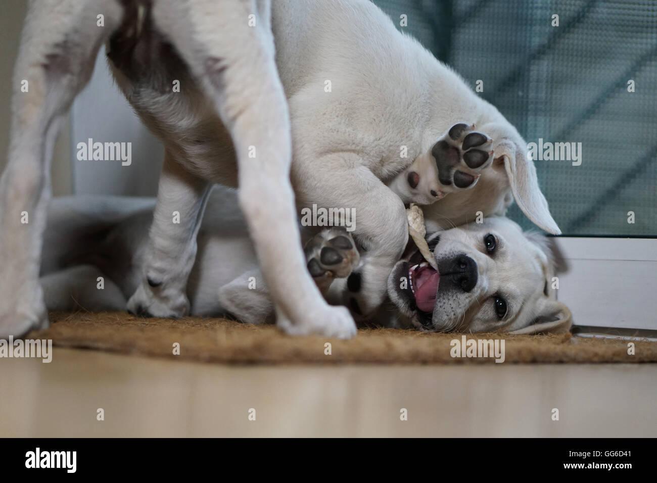 Dos Cachorros Labrador juegan unos con otros hasta que uno da por dos Imagen De Stock