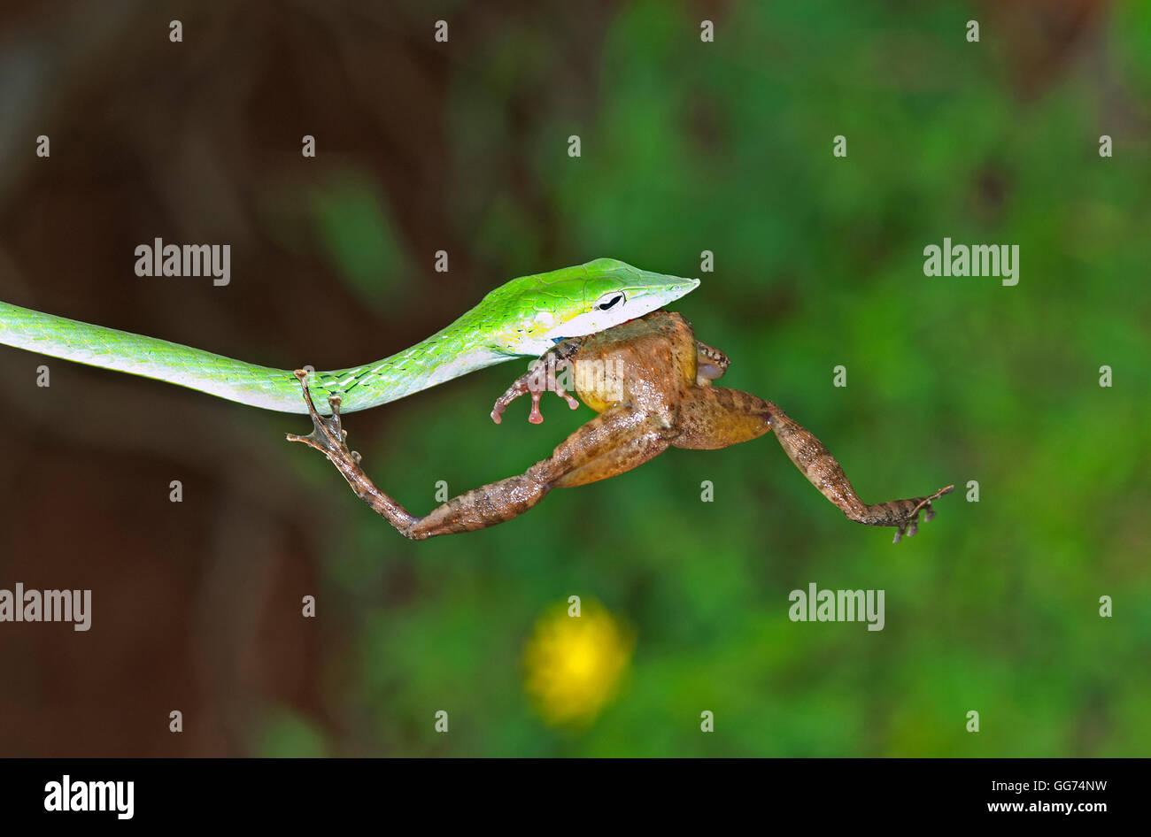 La imagen de verde Serpiente Hierophis viridiflavus látigo() con frog matar a matheran, Mumbai, India Imagen De Stock