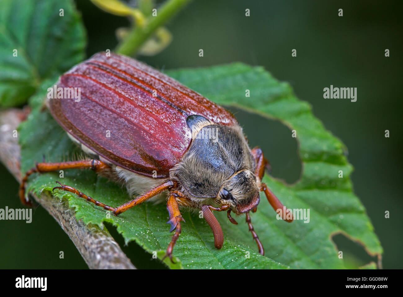 / Mayo cockchafer común (Melolontha melolontha bug) en la hoja Foto de stock