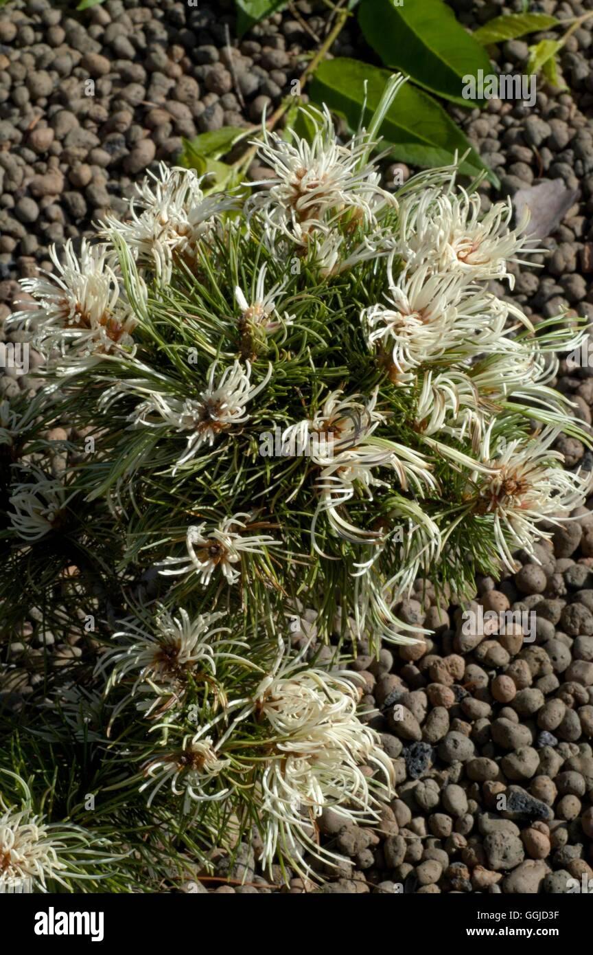 Pinus parviflora - 'Tani-mano-uki' MIW250625 Imagen De Stock