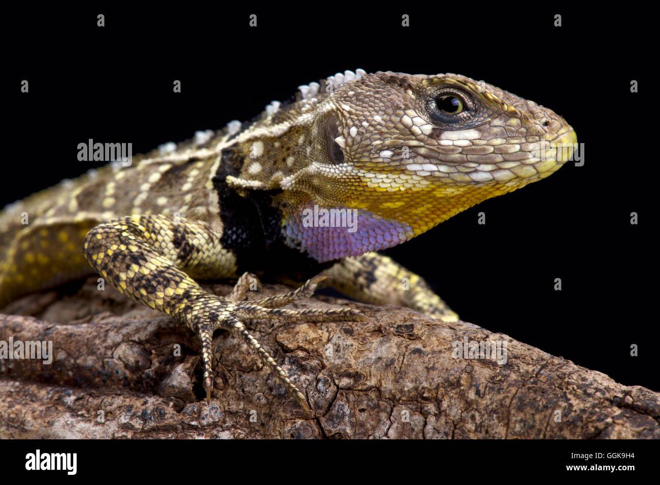 Morado peruano throated lagartija (Stenocercus imitador) Imagen De Stock