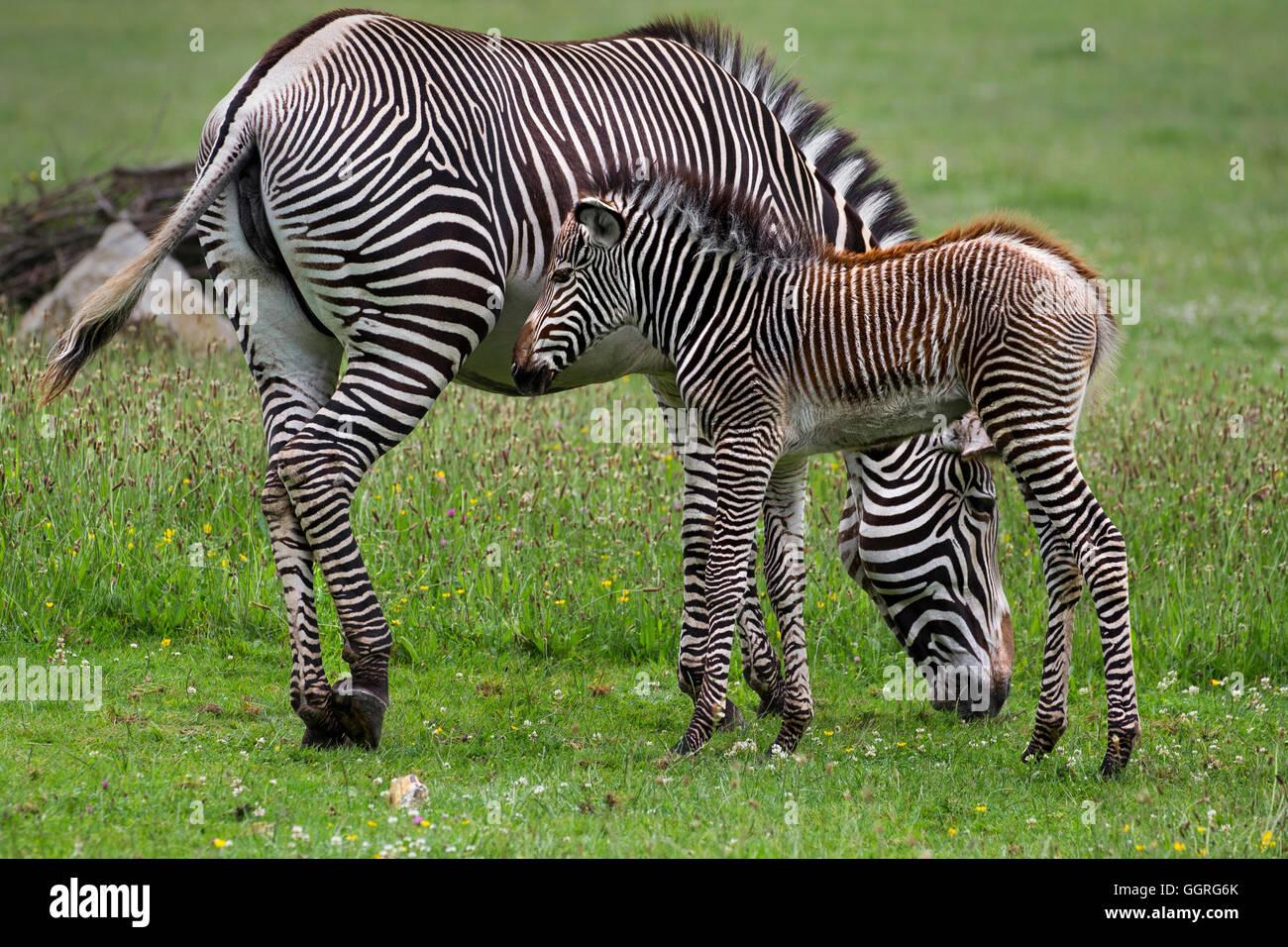 Grévy zebra con sus tres semanas de viejo potro Imagen De Stock