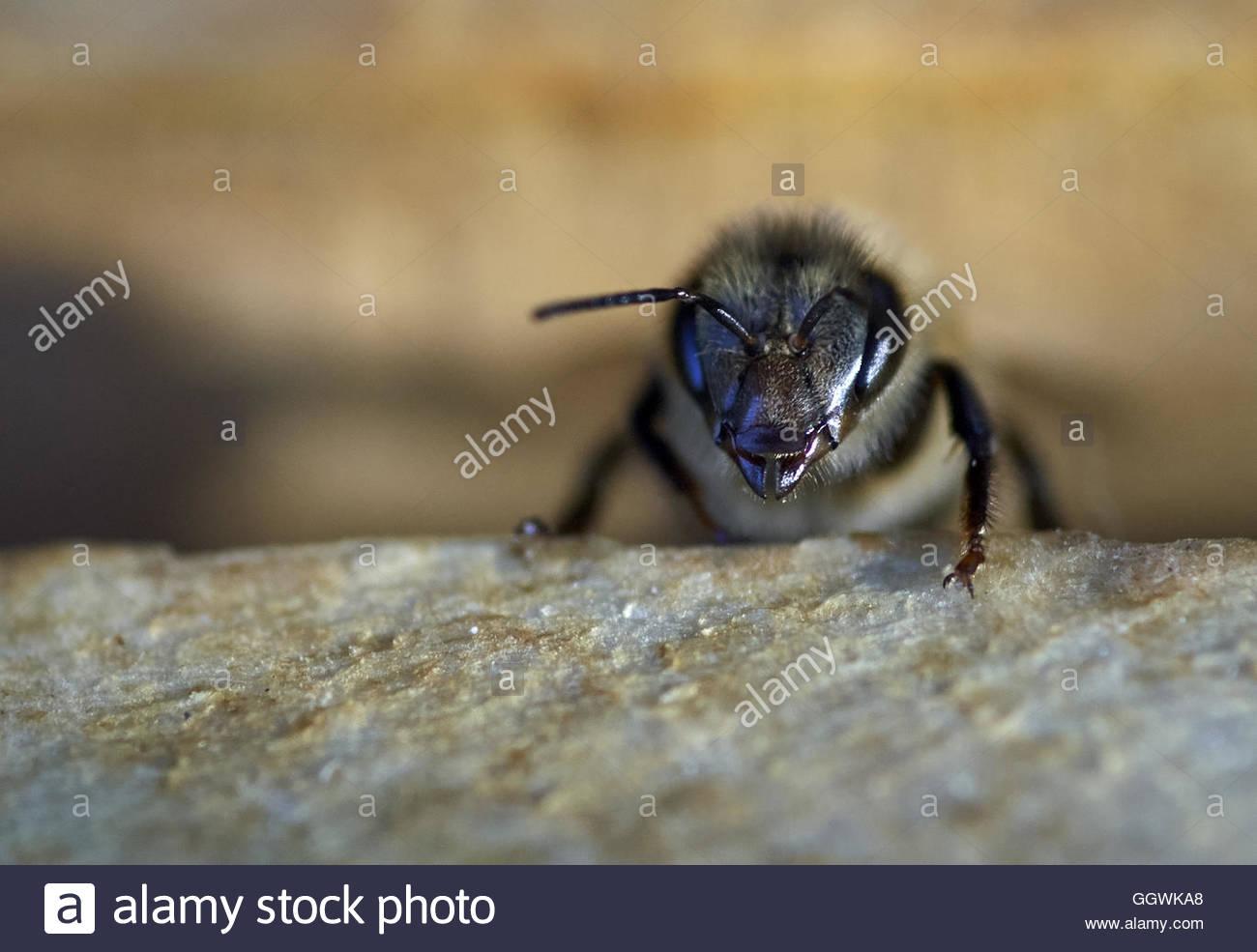 Subir abeja obrera de marcos en una colmena mirando hacia la cámara ...