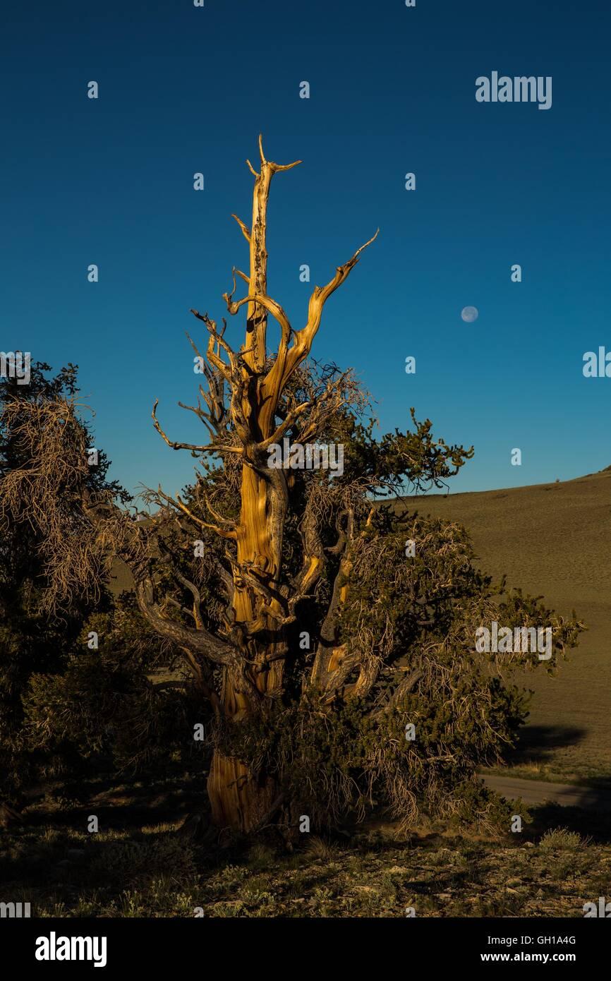 Jun 14, 2014 - White Mountains, California, EE.UU. - El moonsets como el sol se eleva sobre el bosque de pinos bristlecone. Imagen De Stock