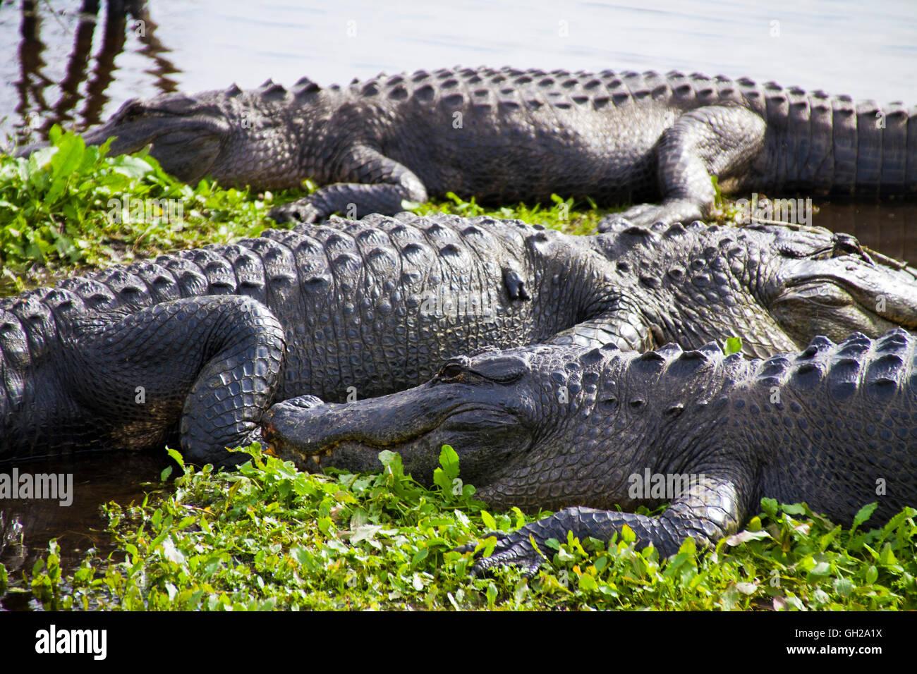 Lagartos americanos sentados a lo largo de la orilla de un pantano en Gainesville, Florida Foto de stock